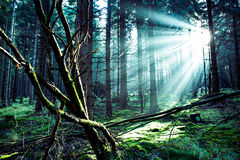 Morning forest Royalty Free Stock Photos