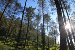 Morning on the forest. A Pine Forest in the morning Royalty Free Stock Images