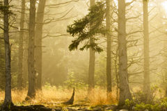 Morning Forest - Acadia National Park Stock Images