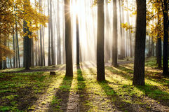 Morning in the forest Royalty Free Stock Image