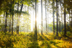 Morning forest in Czech Republic. Morning forest in South Bohemian region. Czech Republic royalty free stock images