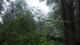 Morning forest with fog and loud songs of Indri
