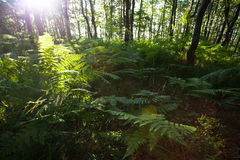 Morning in forest with a lot of fern Stock Photo