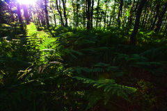 Morning in forest with a lot of fern Royalty Free Stock Image