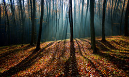Morning forest Royalty Free Stock Image