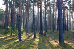 Morning in the forest. Royalty Free Stock Photography