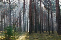 Morning in the forest. Royalty Free Stock Photos