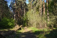 Morning in the forest. The sun illuminates the path and fallen trees. Russia Royalty Free Stock Photography