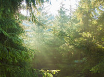 Morning in the forest. With sun rays Royalty Free Stock Photography