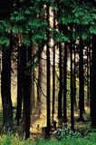 Morning in the forest. Morning sun shines through the pine trees Stock Photography