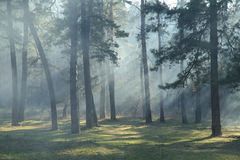 Morning in the forest Royalty Free Stock Images