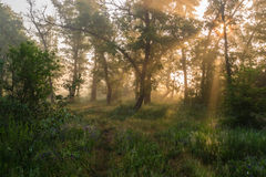 Morning forest. Sunny morning in the misty forest royalty free stock image