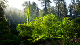 Morning forest with sunrays Royalty Free Stock Photo