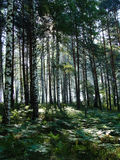 Morning in the forest. With sunrays Stock Photography