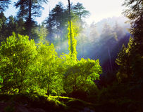 Morning forest with sunrays Royalty Free Stock Image