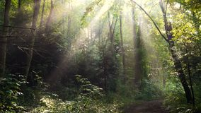 Morning forest trees with raising sun beams after the rain stock footage