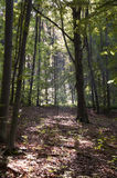 Morning in the Forest. The view of quiet morning forest lightened by sunlight Royalty Free Stock Photo
