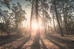 Morning in the forest. Warm tones, lens flare stock image