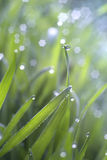 Morning fresh spring grass in dew with natural bokeh Royalty Free Stock Images
