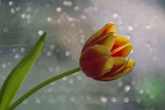 Morning Fresh tulip stock images
