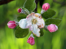 Morning frost on an apple blossoms,april 21,2017 Stock Image