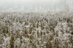 Morning frost. Dry wild flowers covered with white frost Royalty Free Stock Images