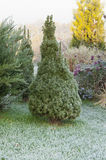 Morning frost on the first conic ate in the garden in  autum Royalty Free Stock Photo