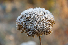 Morning frost on the first dried inflorescences Royalty Free Stock Photography