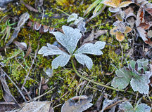 Morning frost grass. Beautiful leaves、grass and linchens with frost in winter morning Royalty Free Stock Photography