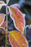 Morning frost Royalty Free Stock Image