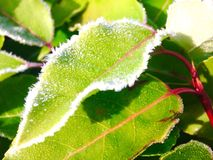 Morning frost on green leaf - mobile phone picture Royalty Free Stock Photo