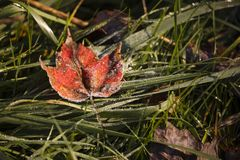 Frosted Maple Leaf. The morning frost has settled on this red maple leaf on my lawn, decorating it with tiny crystals of ice Royalty Free Stock Photography