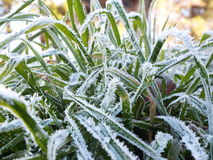 The morning frost. Small icicles formed on green grass one frosty morning Royalty Free Stock Photos