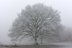 Morning frost in the UK. Mist and frosty tree in Newland`s Corner, Guildford, Surrey, UK Stock Photography