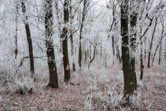 Morning frosted forest. In the early morning Stock Photos