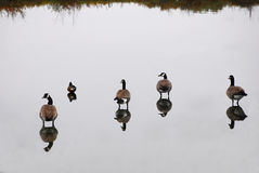 Morning Geese Stock Photography