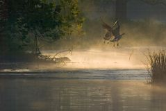 Morning geese on the wing. Two Canada geese take flight as the morning sun illuminates the rising mist over the water Royalty Free Stock Images