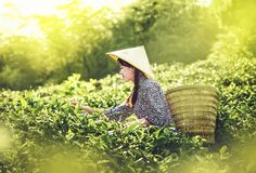In the morning, the girl is picking tea in the tea garden. royalty free stock image