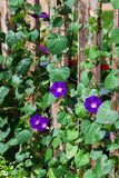 Morning Glories Royalty Free Stock Photos