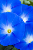 Morning Glories. Detail view of a cluster of blue morning glory blossoms Stock Photos
