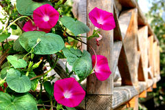 Morning glories Stock Image
