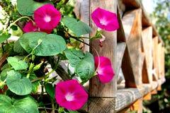 Free Morning Glories Stock Image - 9265731