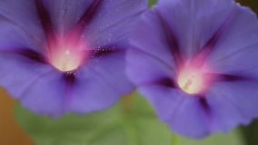 Morning glories closeup stock footage