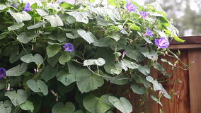 Morning glories on a fence stock video footage