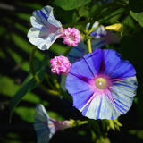 Morning Glories Royalty Free Stock Photography