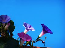 Morning glories in the sun stock image
