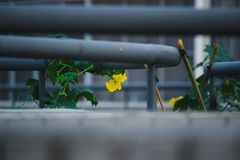 The morning glories, yellow flowers and green leaves under the handrails of the building are in full bloom during the summer. Under the handrail, green vines and royalty free stock photography