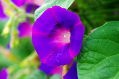 Morning glory. Royalty Free Stock Photography