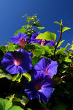 Morning glory. Wild morning glory basking in the sun Royalty Free Stock Photo