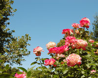 Morning Glory. Blooming roses under bright blue sky royalty free stock images